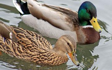 malard ducks - Duck Breeds