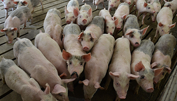 Right To Farm Act_pigs