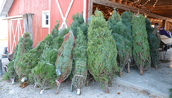 Christmas Trees_Cut Trees