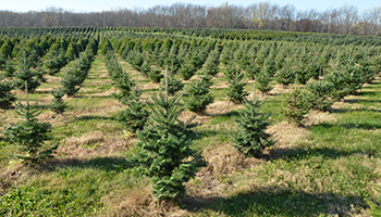 Christmas Trees_Farm