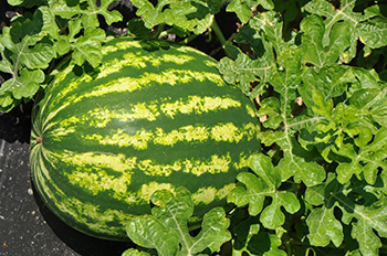 Watermelon_farm bill